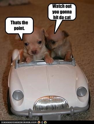 car chihuahua driving puppies - 3115579392