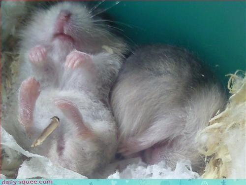 hamster naps sleepy - 3122142976
