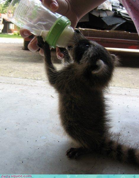 cute raccoon squee - 3123421952