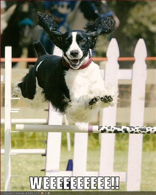 happy jump jumping springer spaniel - 3124105216