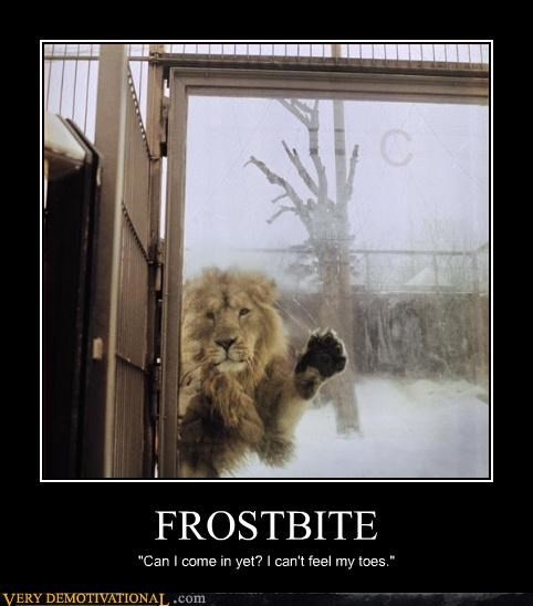 cold,frostbite,lion