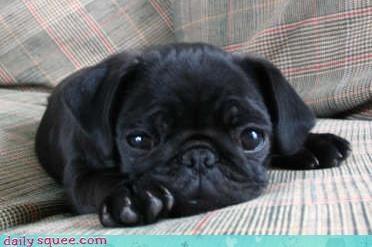 cute pug puppy - 3125236224