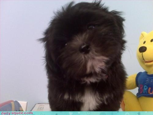 confused puppy teddy - 3125515264