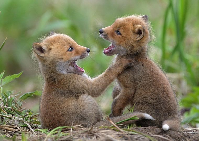 PHOTOS OF FOX CUBS PLAYING