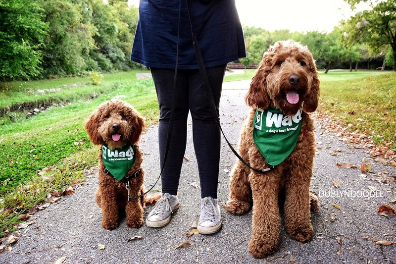 a cute photo of too dogs wearing wag! bandanas - cover for a story on the new app that allows people to walk other peoples dogs!