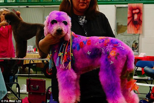 a picture of a purple poodle dressed in 70's gear