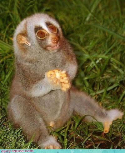 cute Slow Loris what is it