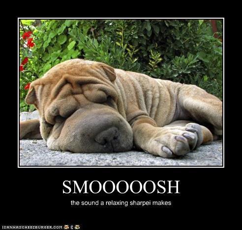 shar pei skin smooshed wrinkles - 3135267072