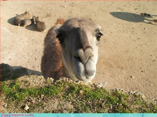 camel,cute,what is it