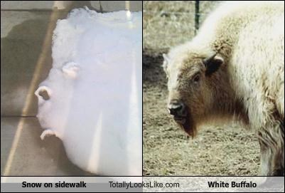 animals,sidewalk,snow,white buffalo