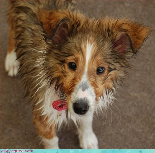 collie dogs lassie - 3143500544
