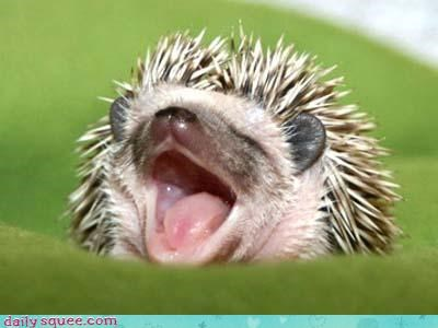 cute,hedgehog,yawn