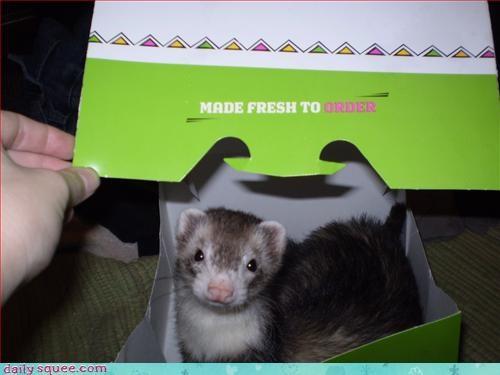 ferret hiding noms - 3145985024