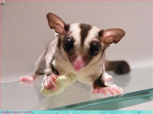 cute,noms,sugar glider