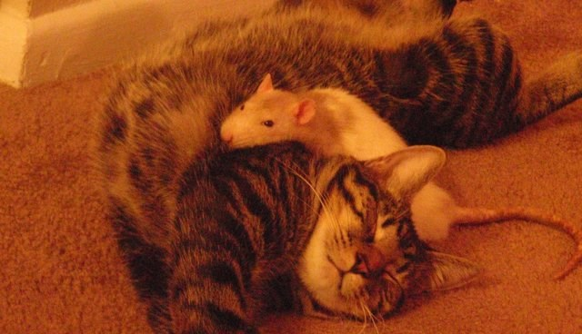 a photo of a cat sleeping and a white mouse on top of it - cover for a list of weird photos