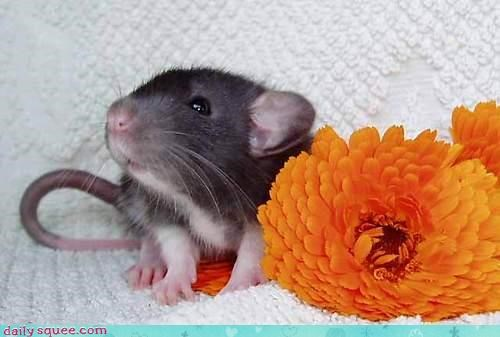 flowers,rat,sets