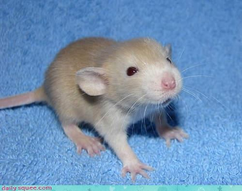baby cute rat - 3158075392