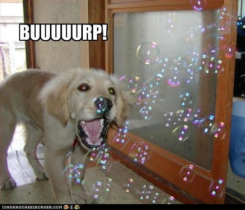 bubbles,burp,golden retriever,puppy