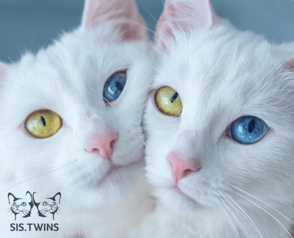 photos of beautiful twin cats
