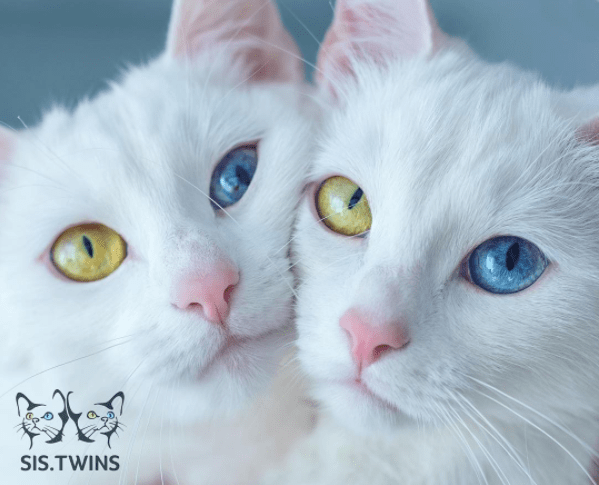 photos of beautiful twin cats