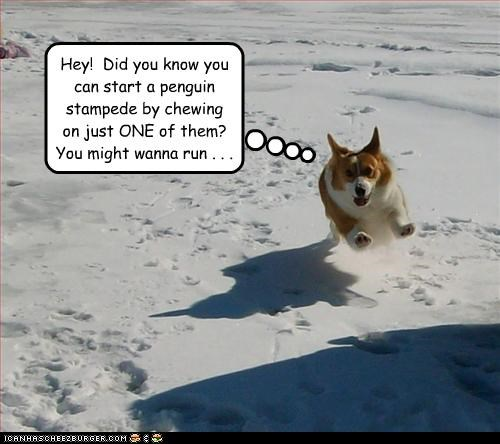 corgi,penguins,running,snow,stampede