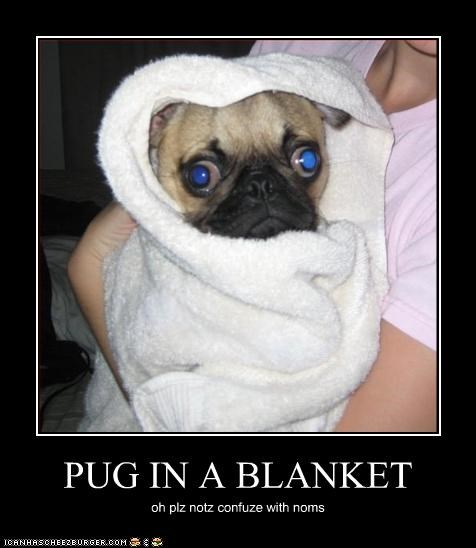 PUG IN A BLANKET oh plz notz confuze with noms