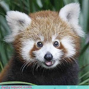 face red panda thinks hes people - 3169674496