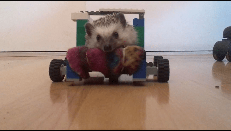 a cute story about an owner building her disabled hedgehog a lego wheelchair