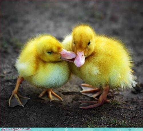 baby duck ducklings - 3173209344