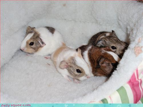 baby,guinea pig,siblings