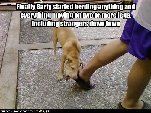 Finally Barty started herding anything and everything moving on two or more legs. Including strangers down town