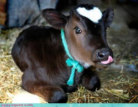 calf,cow,heart