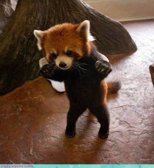 bear cute red panda - 3178546688