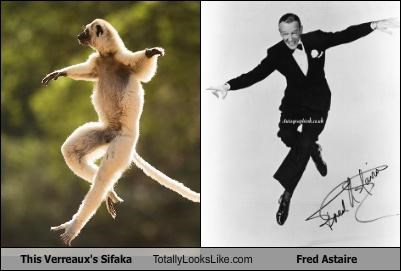 animals dancer fred astaire lemur verreauxs-sifaka