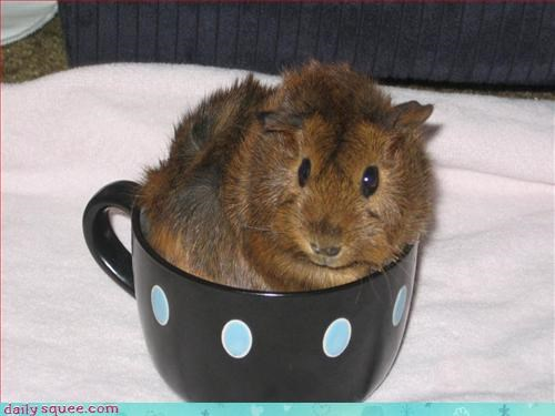 adorable cup guinea pig - 3180657920