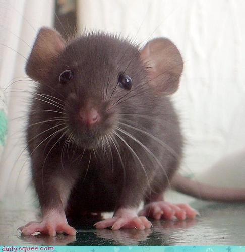 clean Fluffy rat