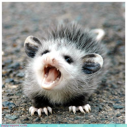 baby cute possum - 3180939008