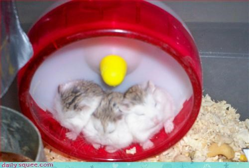 cute hamsters sleeping - 3184777472