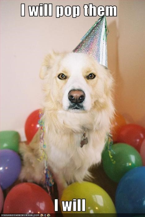 Balloons,golden retriever,pop,serious