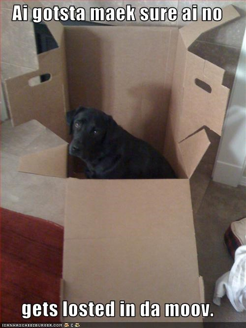 box,labrador,moving