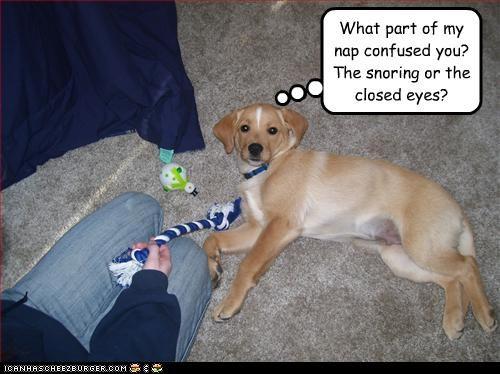 annoyed labrador nap puppy - 3192362240