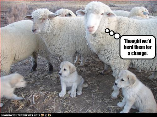 herding,labrador,puppies,sheep