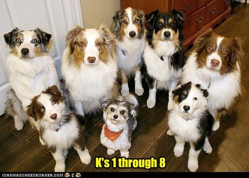 australian shepherd,group,pun,yorkshire