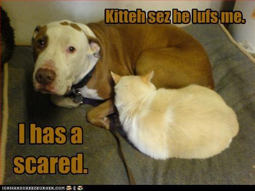 kitteh love pitbull scared - 3197702144