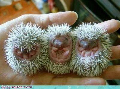 Babies,hedgehog,litters