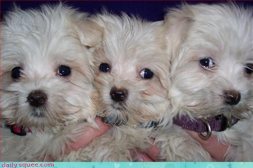 cerberus,dogs,puppy
