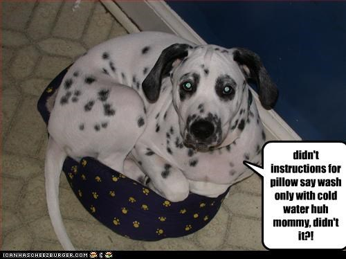 cold,dalmatian,laundry,mommy,Pillow,shrink,wash,water