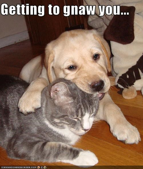 ear gnaw golden retriever lolcats puppy - 3203056896