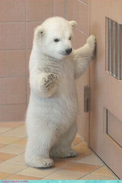 baby,cub,polar bear