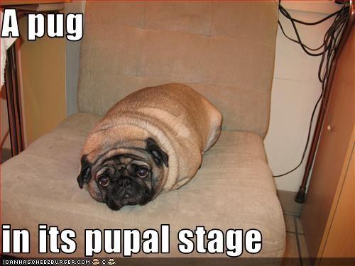 arms,legs,loaf,pug